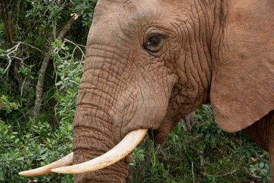 Game Theory And China's Ivory Ban: Scenarios That Could Save Africa's Elephants - Or Lead To Their Extinction